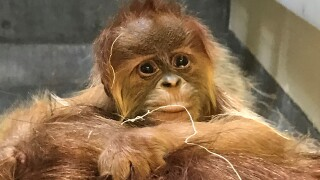 Denver Zoo welcomes baby orangutan