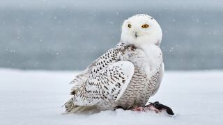 'At least 20' snowy owls spotted this fall in Wisconsin, DNR says