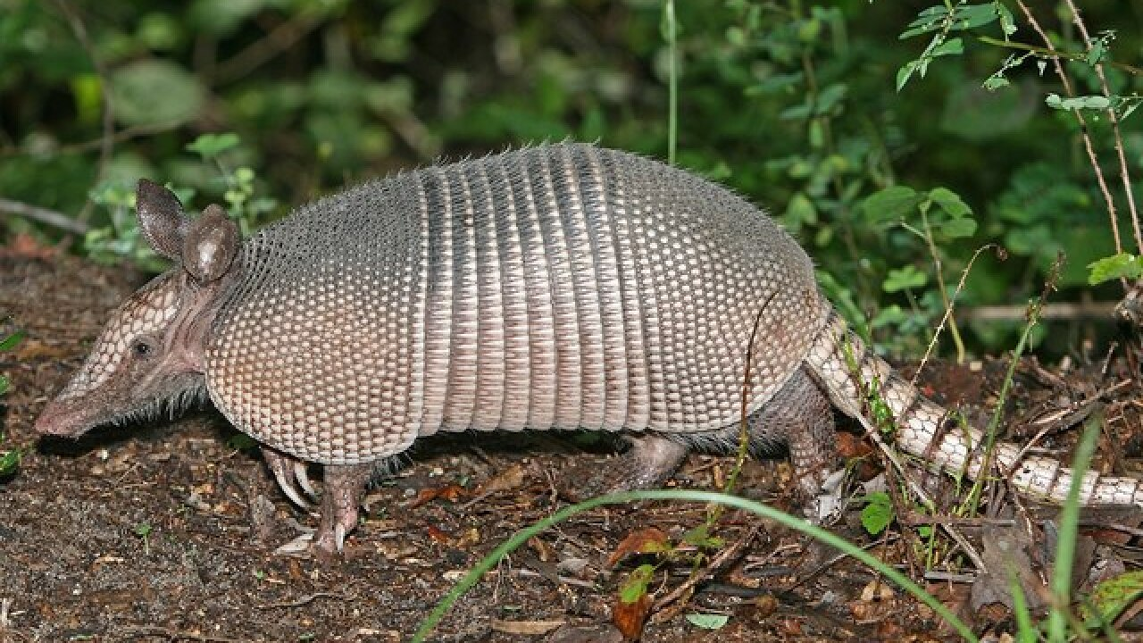 Lincoln Police attempt to catch armadillo