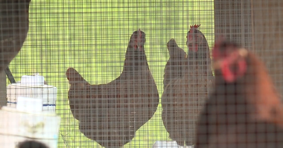 Montana departments encourage safe handling of live poultry