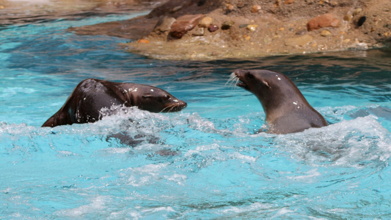 LOOK: Delightful photos of sea lions at Indy Zoo