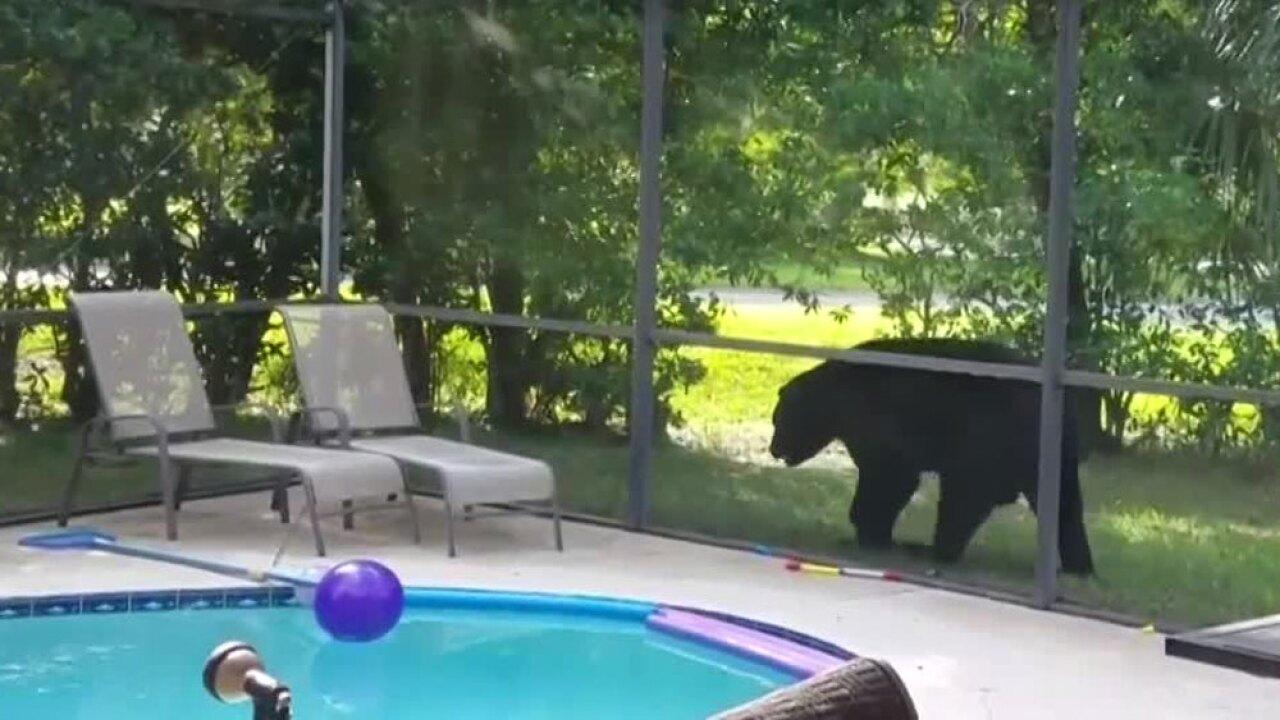 wptv-seminole-county-bear-.jpg