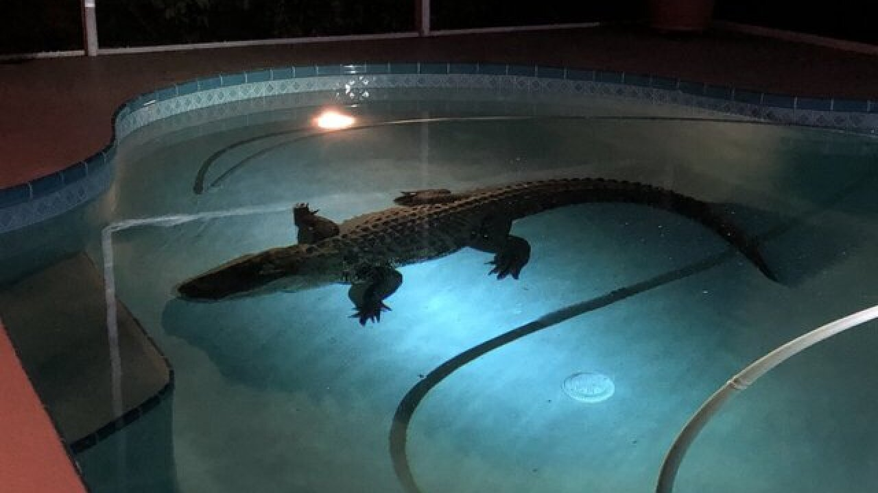 Trapper pulls 11-foot gator from Fl. pool
