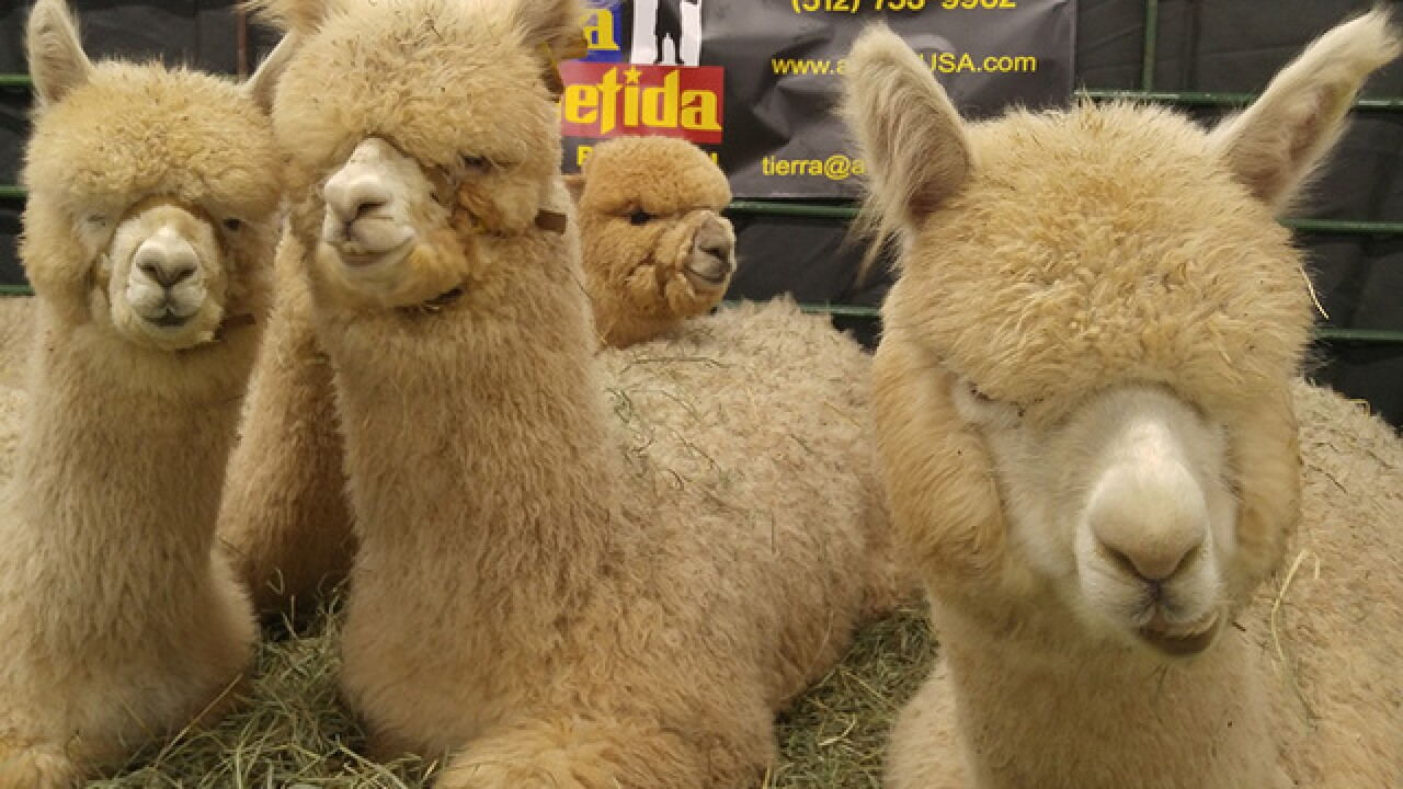 The Great Western Alpaca Show is coming to Denver this weekend