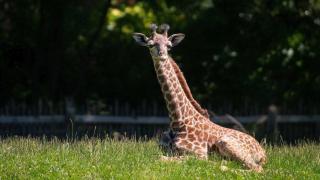 Cleveland Metroparks Zoo baby giraffe Kidogo