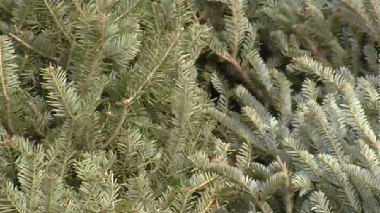 Boy Scout Troops to offer Christmas Tree Recycling services