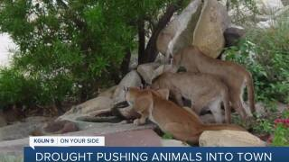 Drought conditions pushing wildlife into city limits