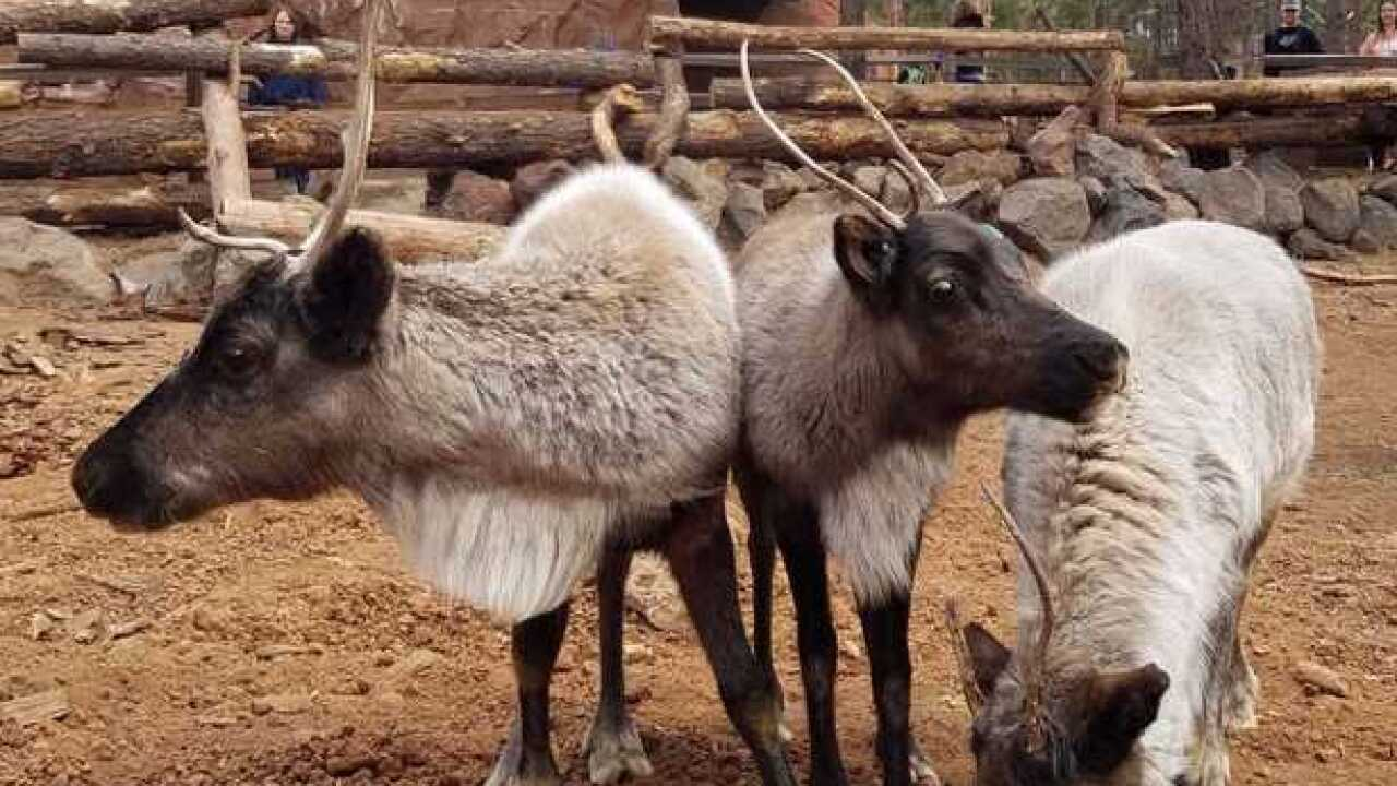 Reindeer have landed at Bearizona