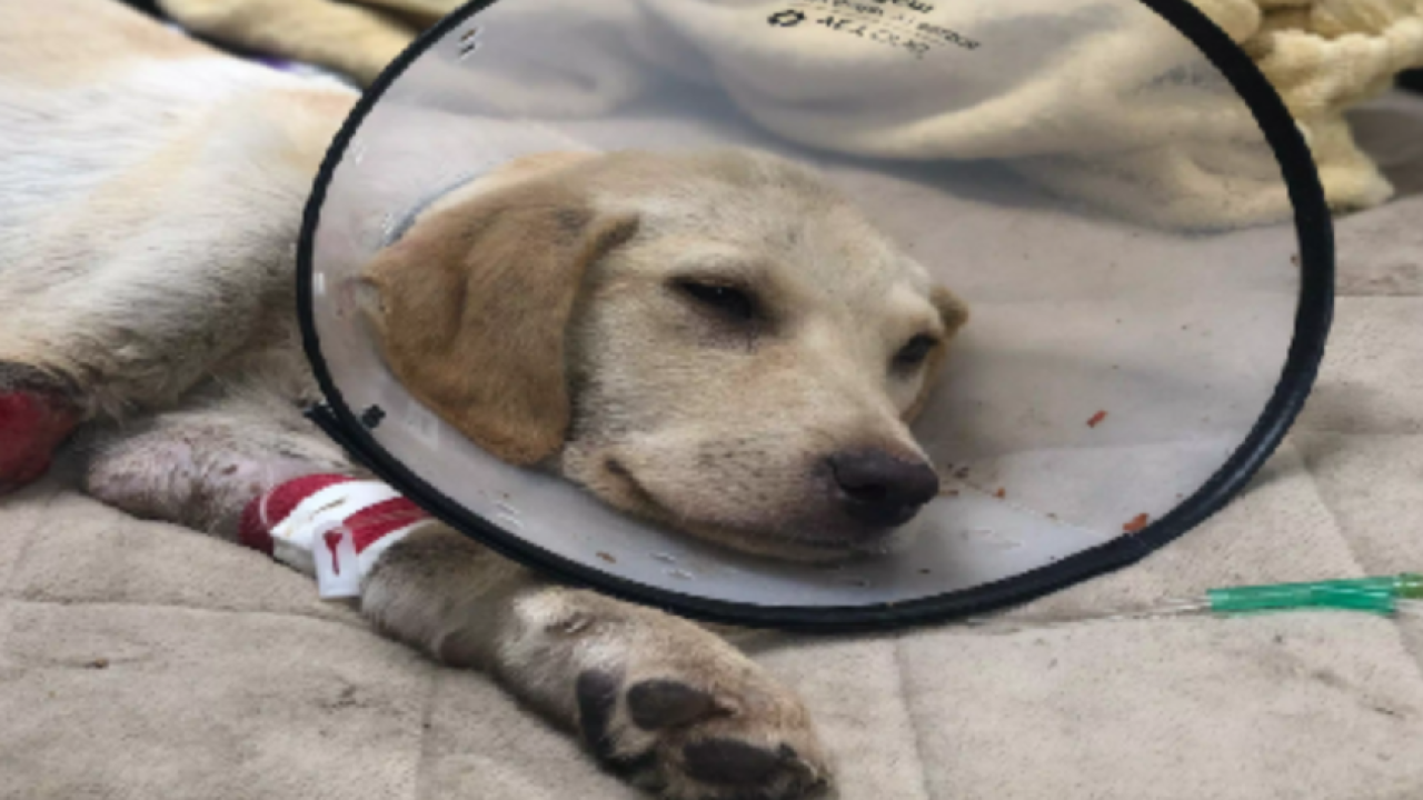 Puppy fighting for his life in Leon County after being shot at close range