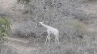 wptv-white-giraffe.jpg