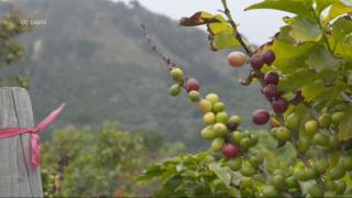 California farmer harvesting success with coffee
