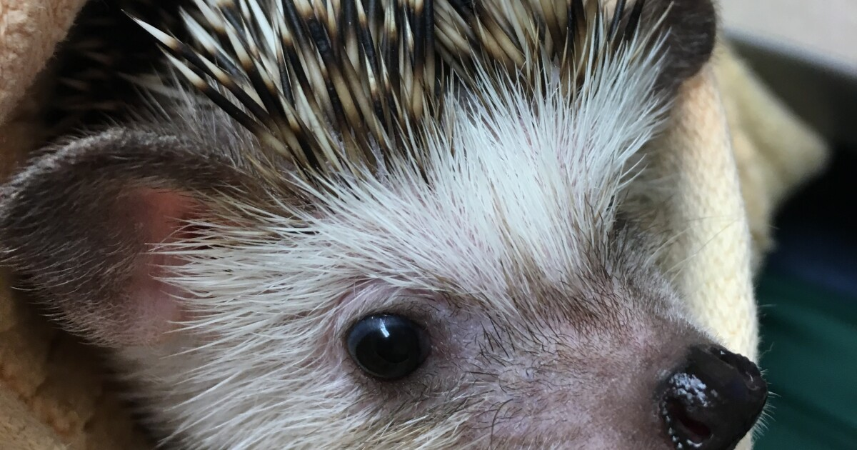 Search continues for hedgehog stolen from Bay Beach Wildlife Sanctuary