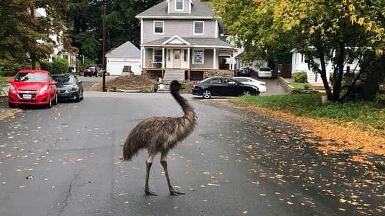 Authorities use pear to entice, capture escaped emu