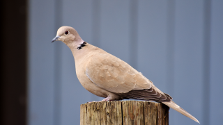 Recent dove deaths in Montana attributed to paramyxovirus