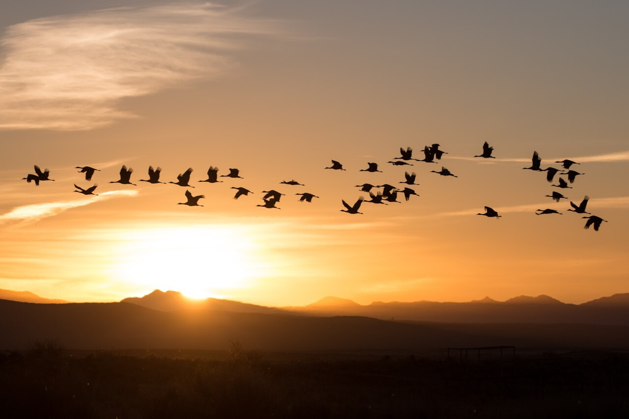 Sandhill Cranes in flight courtesy Homer Hansen