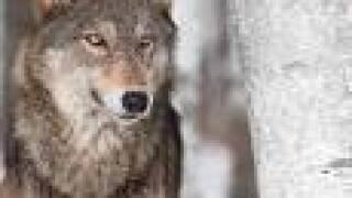 IDFG wolf.jpg