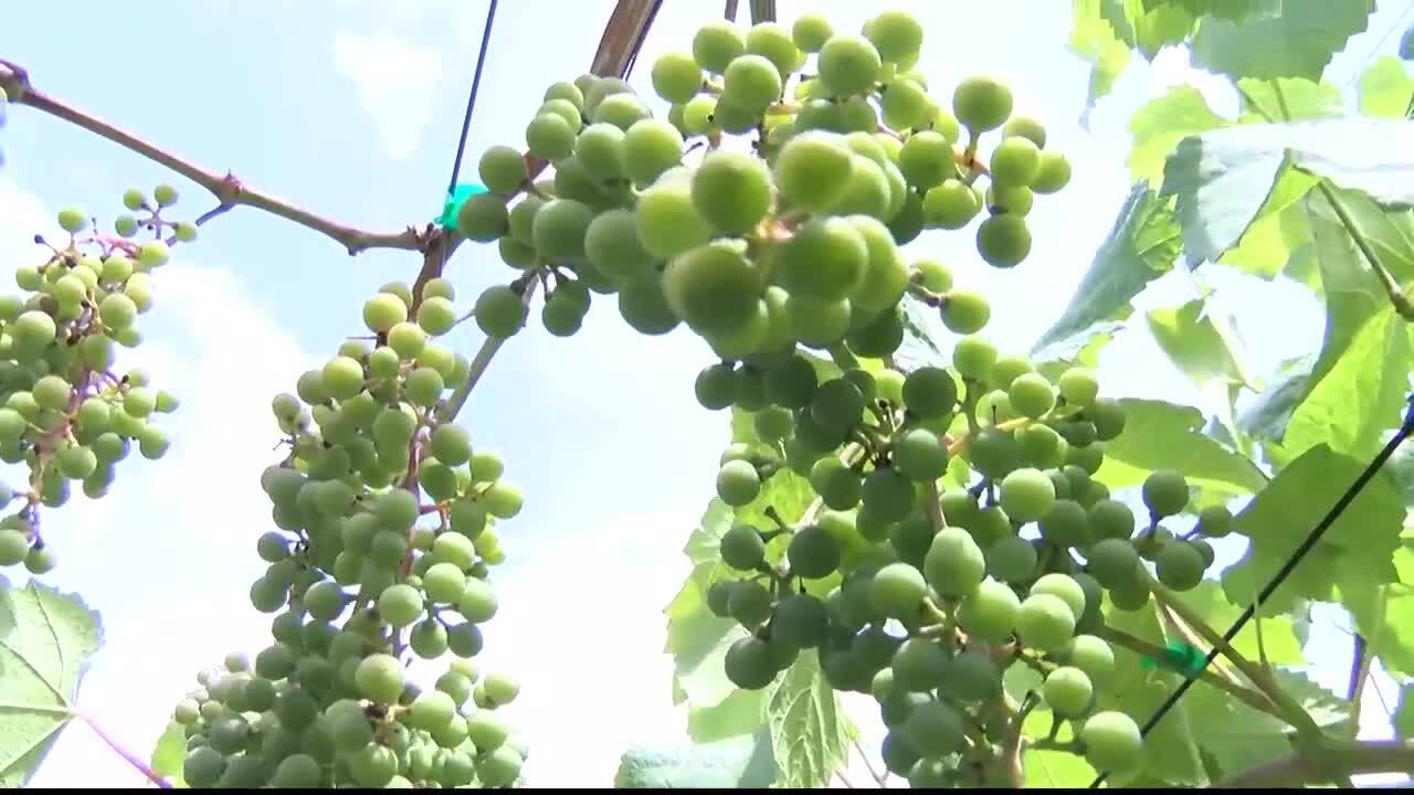 Mission Valley Wine Grapes