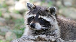 raccoon.png