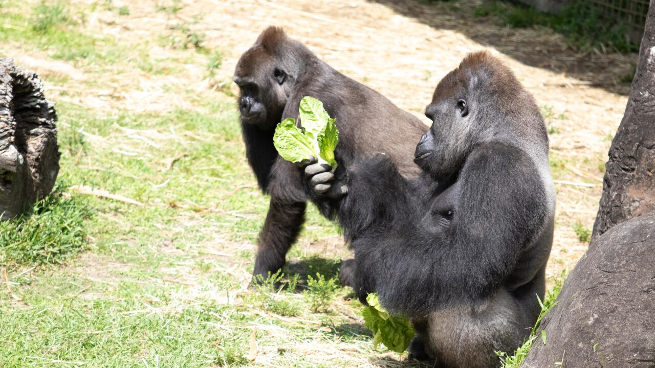 Critically endangered gorilla pregnant with first baby at New Orleans zoo