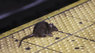 CDC warns that the pandemic may be causing rodent infestations
