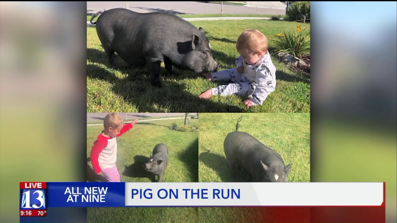 This little piggy was spotted all over Herriman… Help bring herhome!