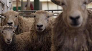 """Vegan activists launch campaign to give town of Wool a more """"sheep-friendly"""" name"""