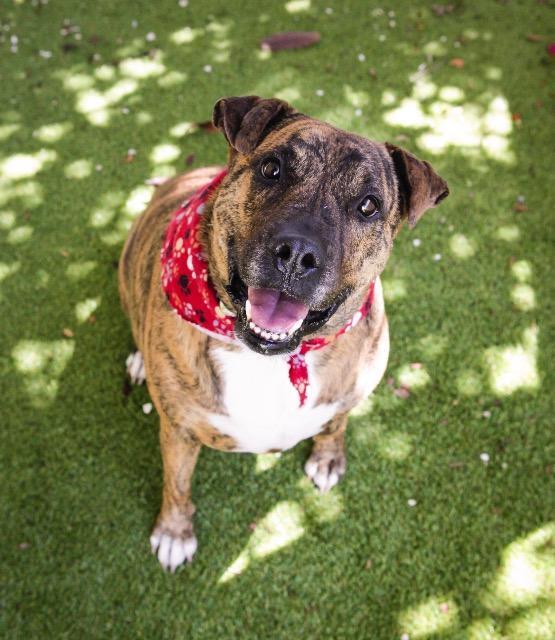 Kona_Pit Bull Terrier mix.jpg