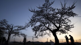 Residents Return To View Cherry Blossom Inside No-go Zone Near Fukushima Nuclear Plant