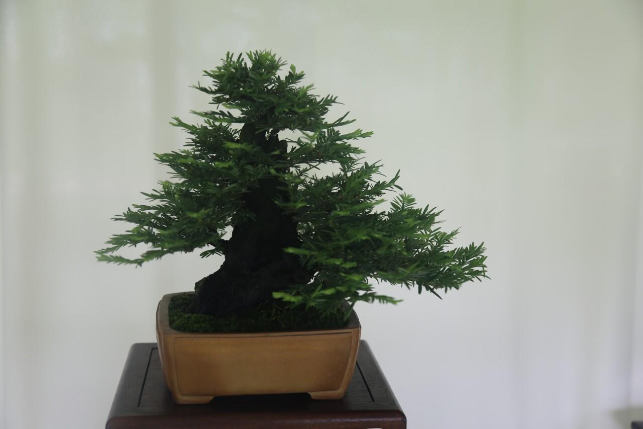 Milwaukee Bonsai Society, bonsai