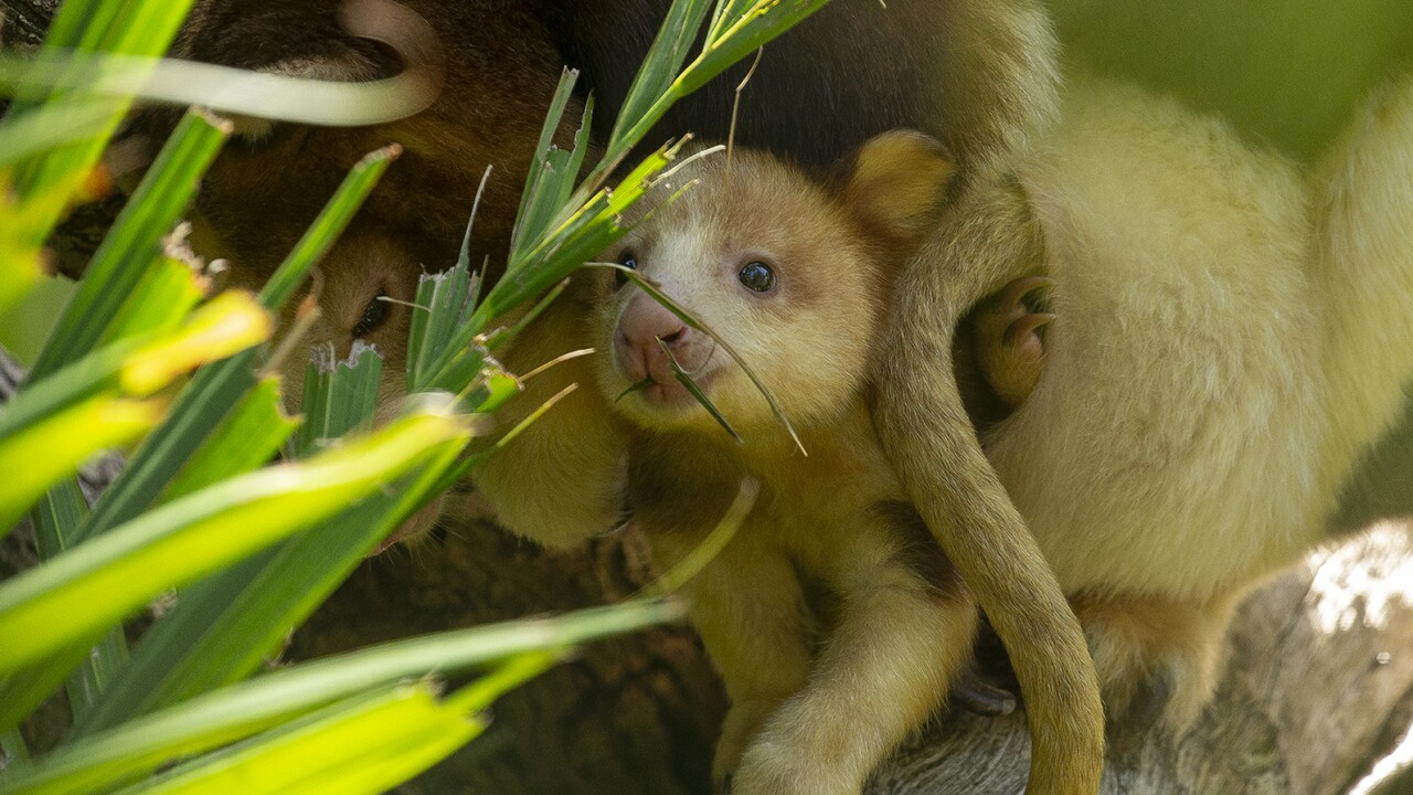 Endangered Matschie's Tree Kangaroo Joey Peeking from Mom's Pouch at the San Diego Zoo Safari Park