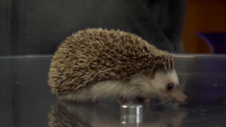 Meet Spitzer the hedgehog from ZooMontana