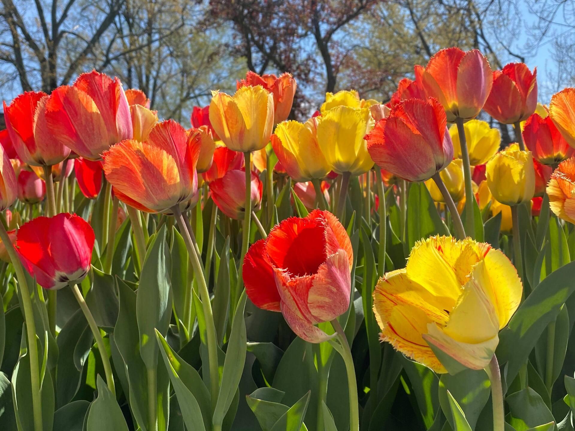 Tulips 1 - Courtesy Kim Reid Bos via Facebook.jpg