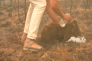 Koala saved from Australian wildfire