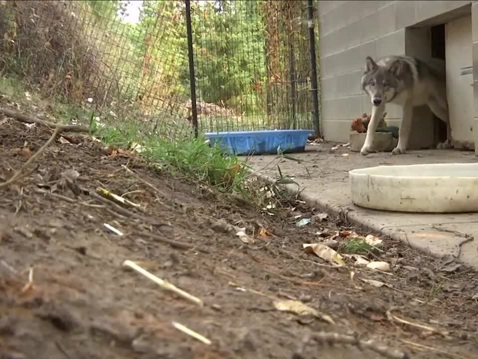 ZooMontana's Simpson the grey wolf back home after surgery