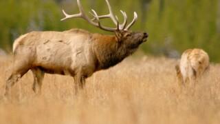 Michigan DNR investigating illegal killing of two bull elk