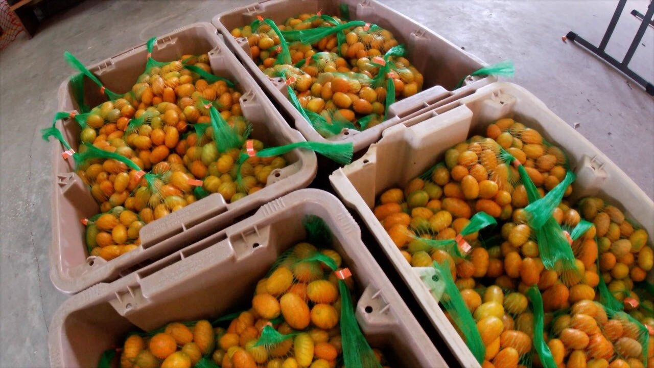 Kumquat-festival-WFTS.jpg