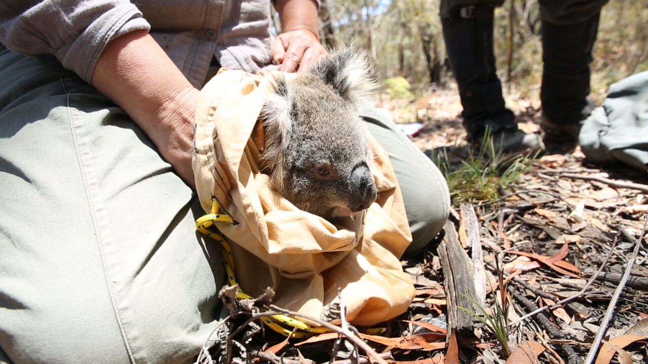 San Diego Zoo Global Commits to Protecting Critically  Important Koala Population