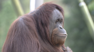Great Apes at San Diego Zoo receive experimental COVID vaccine