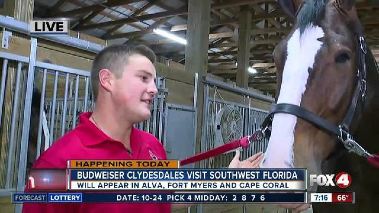 Budweiser Clydesdales visit Southwest Florida