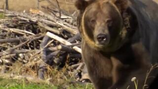 A Wilder View: Looking at where grizzly bears roam