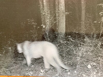 Cougar sighting Aug 30 2020 - 2.jpg