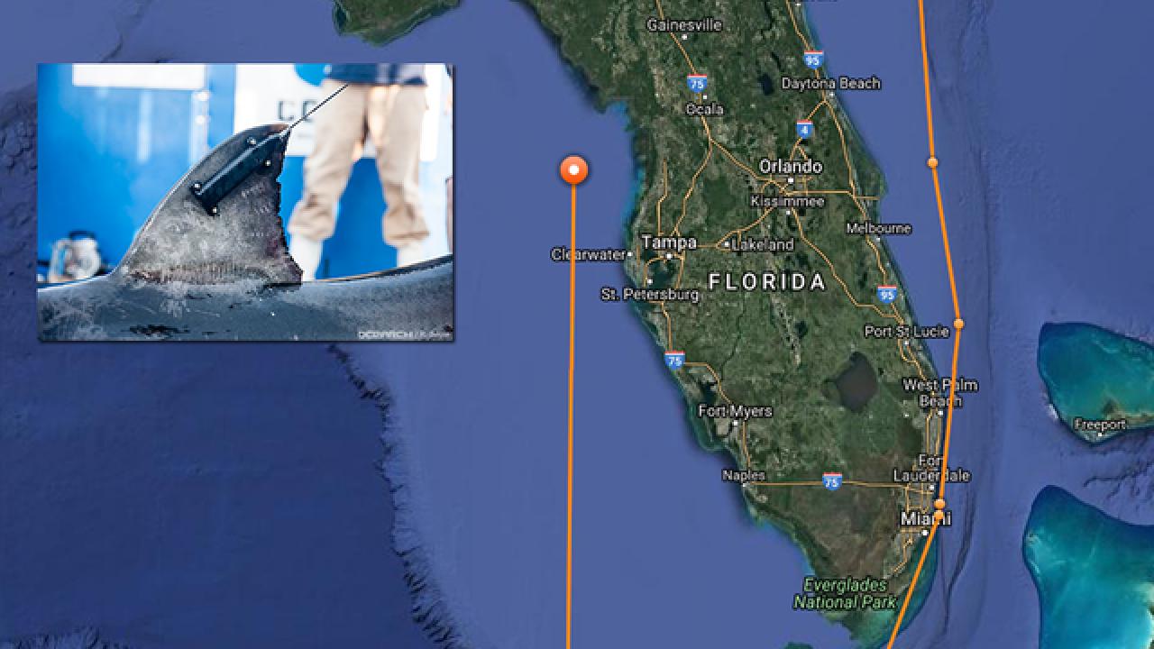 8-foot-long white shark pinged near Tampa