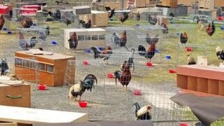 Arkansas jail housing 200 roosters as cockfighting evidence