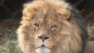 Hogle Zoo Lion.jpg