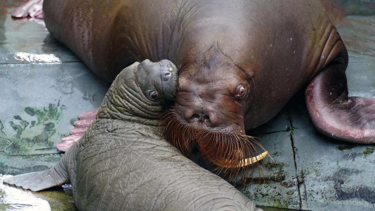 Whiskered baby walrus 1.png