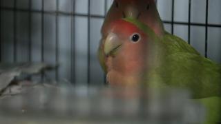 Lovebirds at El Mirage home