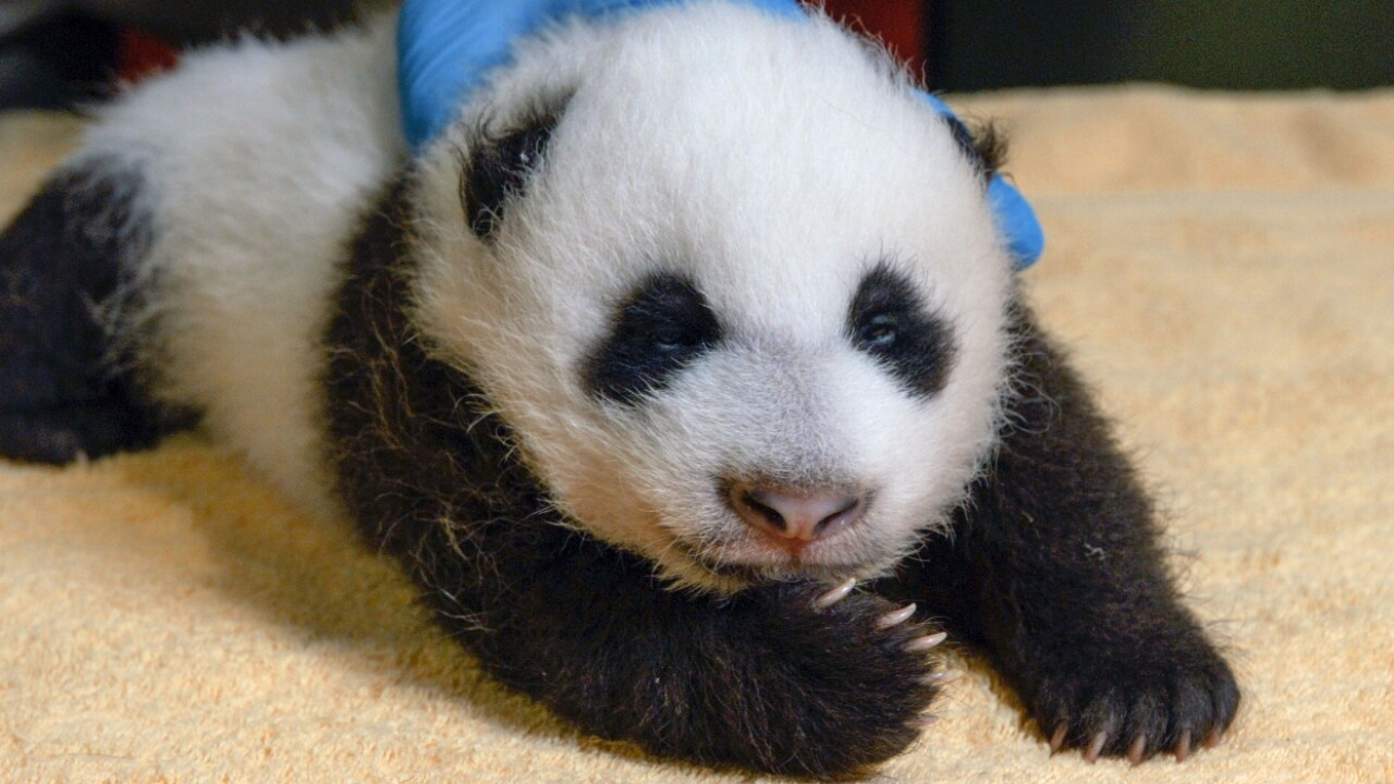 Video: Panda mom takes 8-week-old baby for short 'field trip'