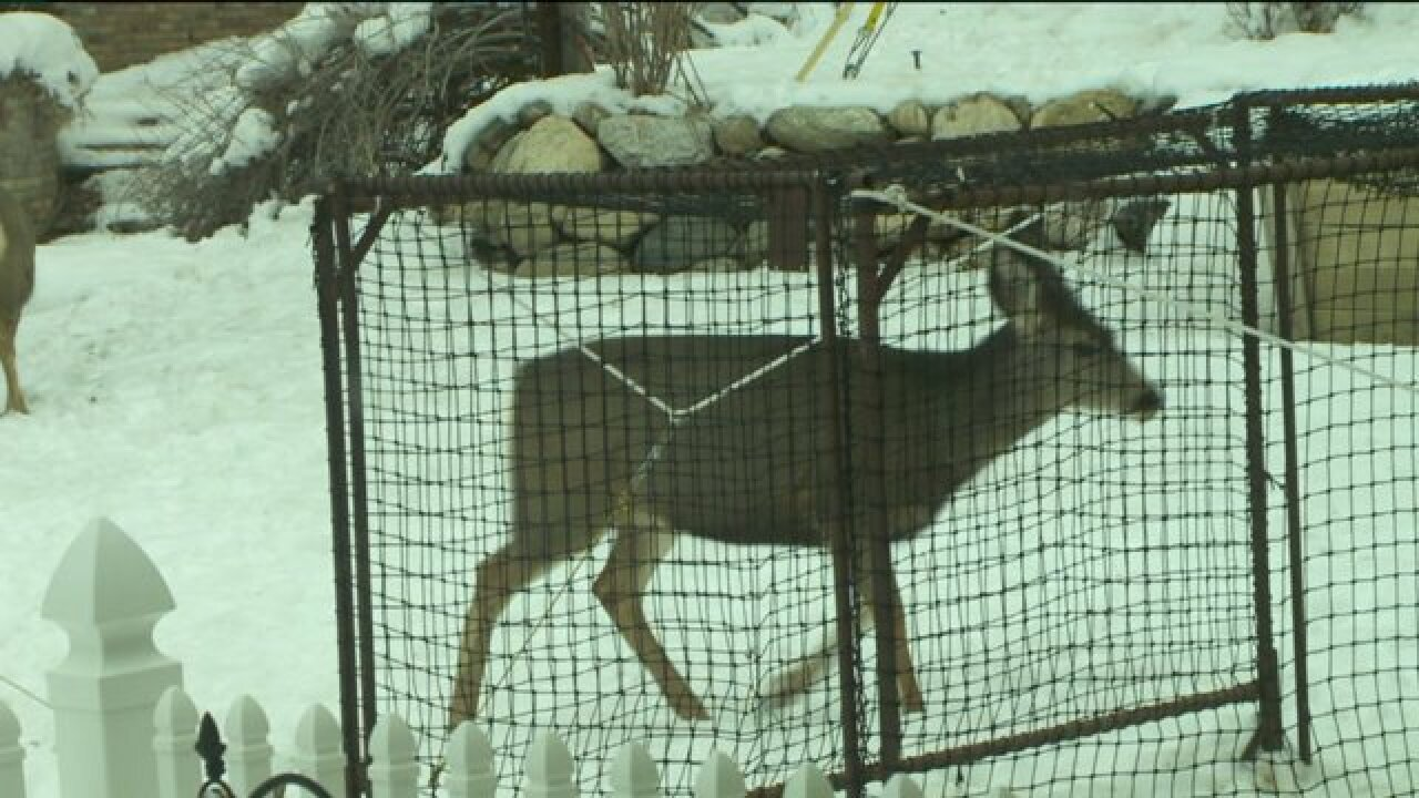 Catch and release program in place to cut deer population in Bountiful