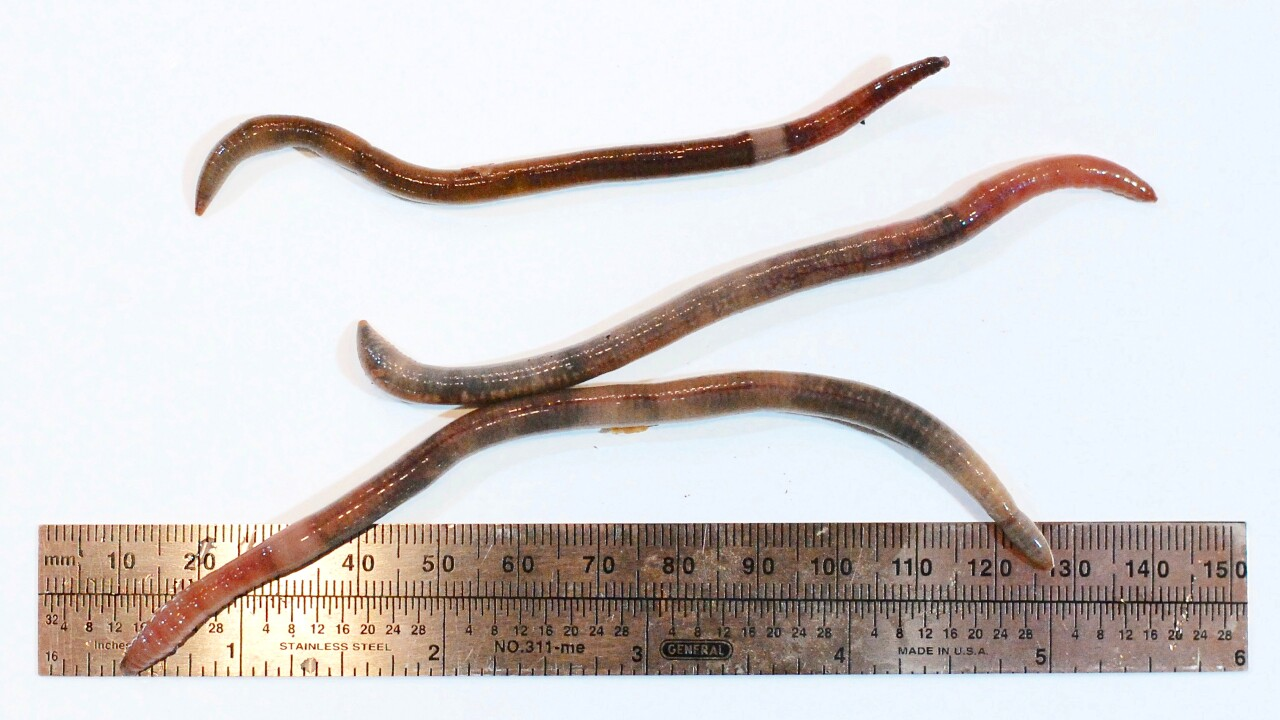 Expert says invasive 'jumping' earthworms with destructive potential appearing in Western New York
