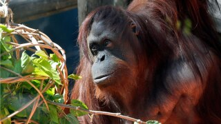 Orangutan granted legal personhood settles into new Florida home